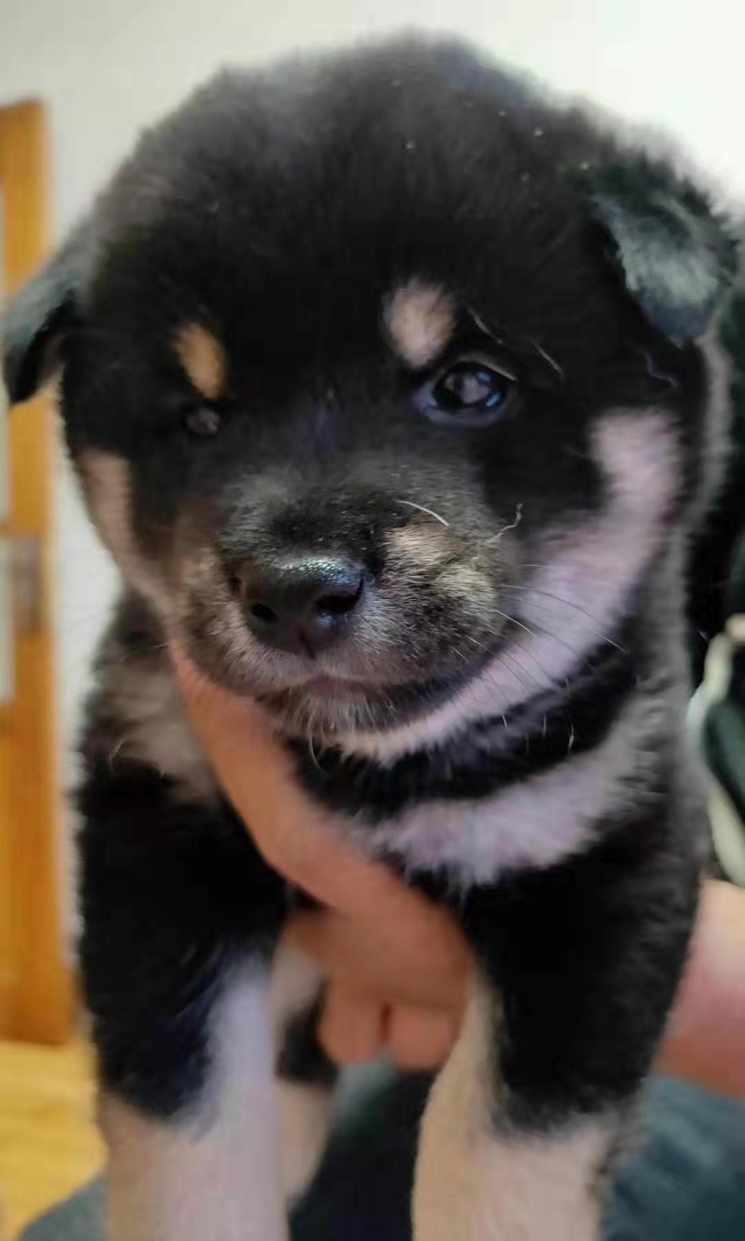 2个月大的纯种柴犬,公宝宝有售7