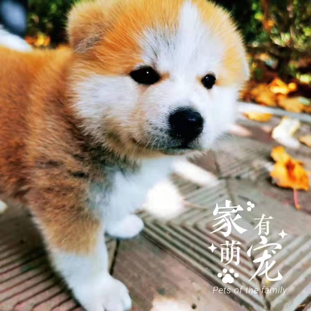 2个月大的纯种秋田犬,等你来撩1