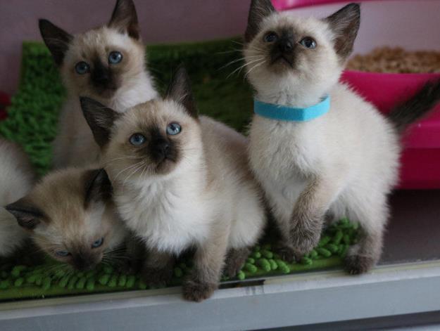 深圳暹罗哪里有卖,纯种暹罗猫多少钱一只,暹罗猫好养吗?