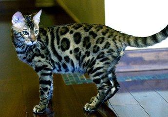 孟加拉豹猫东莞哪里有卖豹猫大型的猫舍