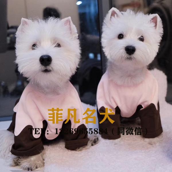 精品赛级西高地犬丨血统纯正|健康包活丨北京免费送货
