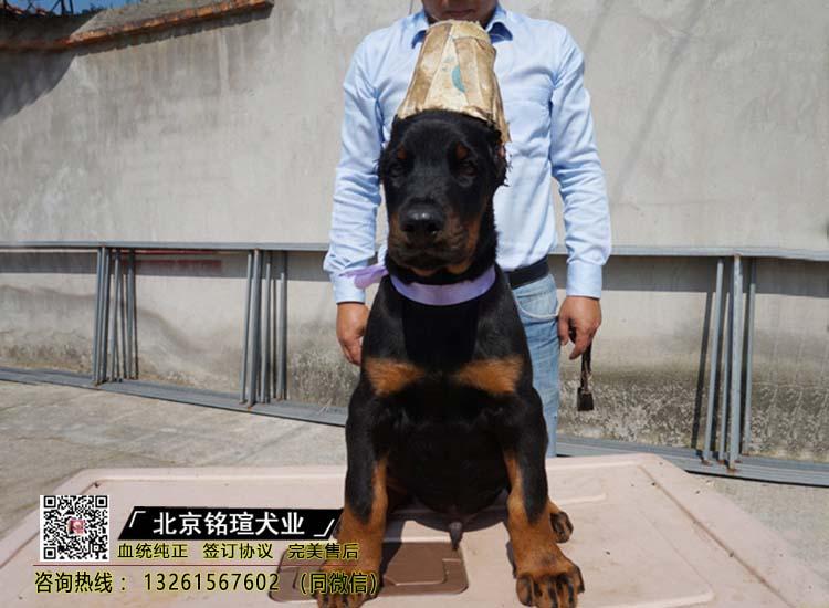 纯种比特犬 杜宾幼犬出售 活体宠物狗美国恶霸犬3