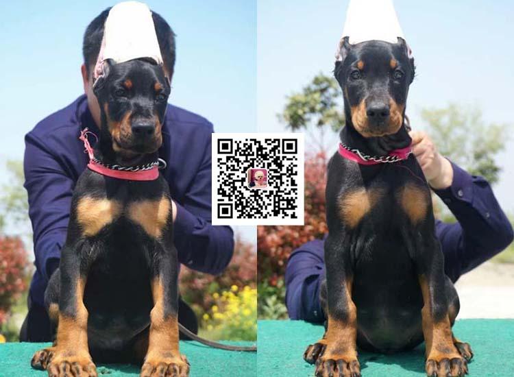 纯种比特犬 杜宾幼犬出售 活体宠物狗美国恶霸犬8