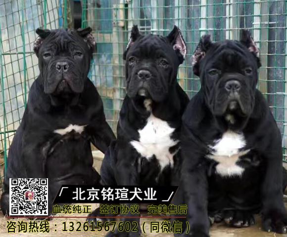 纯种卡斯罗犬幼犬卡斯罗活体卡斯罗幼犬活体猛犬护卫犬卡斯罗3