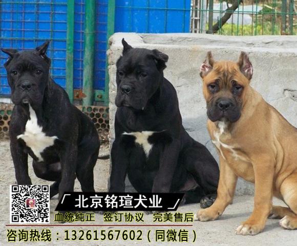 纯种卡斯罗犬幼犬卡斯罗活体卡斯罗幼犬活体猛犬护卫犬卡斯罗4