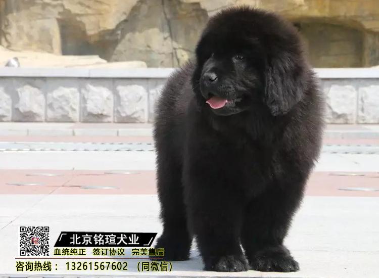 出售纯种纽芬兰幼犬活体家养巨型纽芬兰犬宠物狗狗3