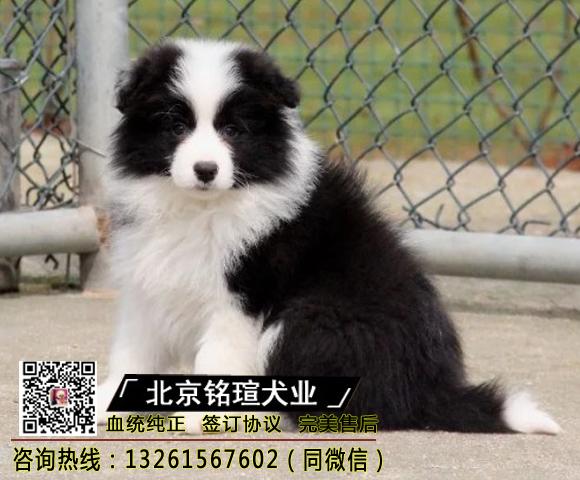 边牧幼犬纯种家养七白三通边境牧羊犬幼崽中大型活体真宠物狗