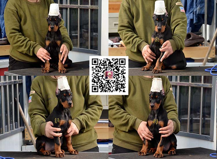 纯种比特犬 杜宾幼犬出售 活体宠物狗美国恶霸犬6