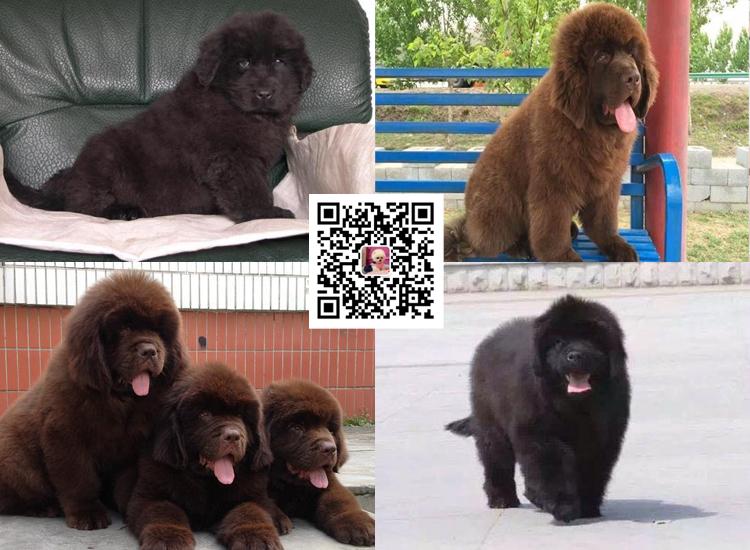 出售纯种纽芬兰幼犬活体家养巨型纽芬兰犬宠物狗狗7