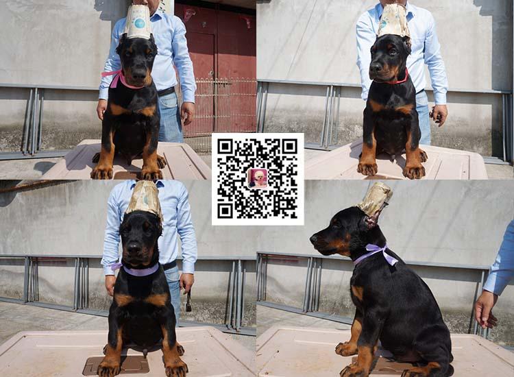 纯种比特犬 杜宾幼犬出售 活体宠物狗美国恶霸犬7