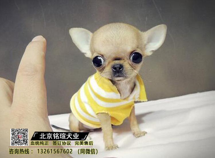 吉娃娃幼犬纯种家养小型茶杯犬出售活体宠物狗狗活体