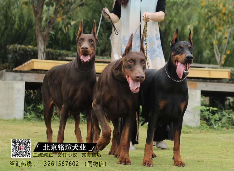 纯种比特犬 杜宾幼犬出售 活体宠物狗美国恶霸犬2