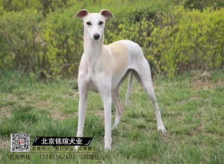 格力犬幼犬纯种格力出售家养格力幼崽活体宠物狗狗