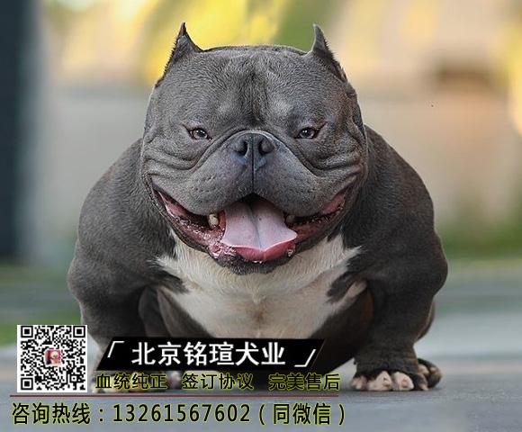 纯种美国恶霸犬幼犬出售口袋微小体恶霸犬幼崽活体恶霸犬宠物狗