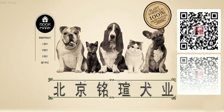 纯种比特犬 杜宾幼犬出售 活体宠物狗美国恶霸犬5