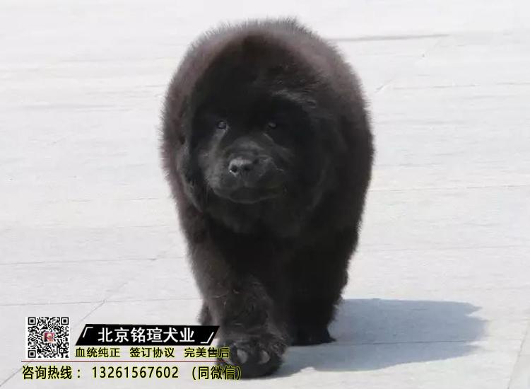 出售纯种纽芬兰幼犬活体家养巨型纽芬兰犬宠物狗狗2
