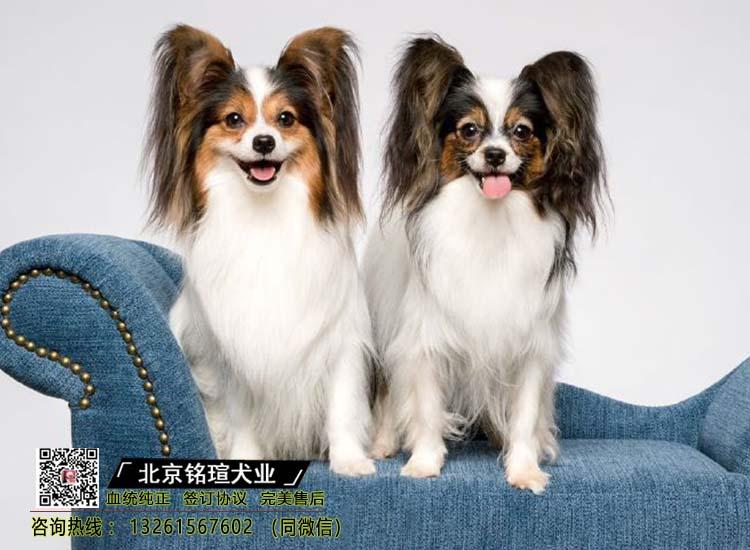 出售纯种蝴蝶犬幼犬蝴蝶犬价格蝴蝶犬多少钱 康蝴蝶犬哪里买