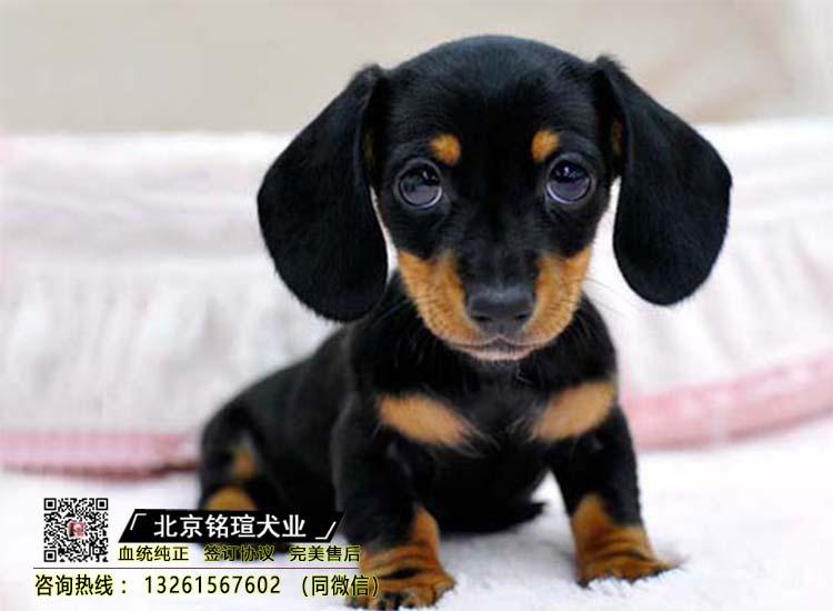 纯种腊肠犬幼犬出售活体宠物狗小体腊肠犬保障纯种健康品质