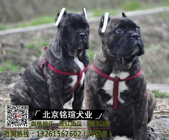 纯种卡斯罗犬幼犬卡斯罗活体卡斯罗幼犬活体猛犬护卫犬卡斯罗2