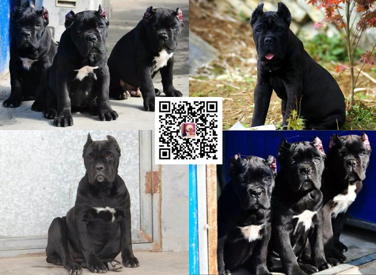 纯种卡斯罗犬幼犬卡斯罗活体卡斯罗幼犬活体猛犬护卫犬卡斯罗6