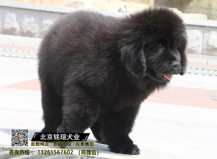 出售纯种纽芬兰幼犬活体家养巨型纽芬兰犬宠物狗狗4