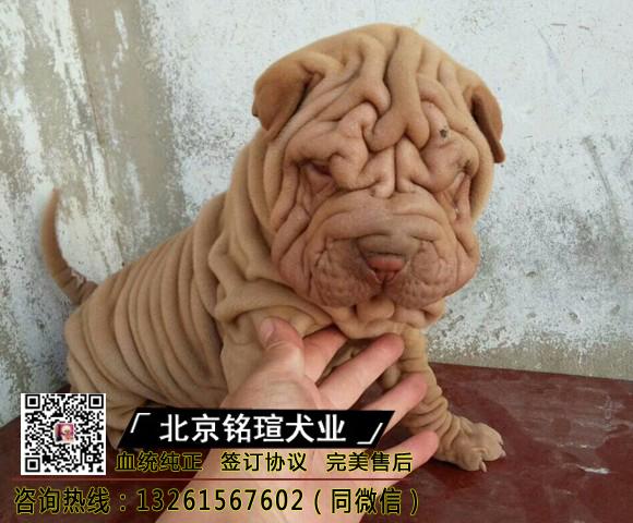 沙皮狗幼犬小型纯种沙皮犬褶皱宠物狗沙皮狗幼犬大型沙皮活体狗
