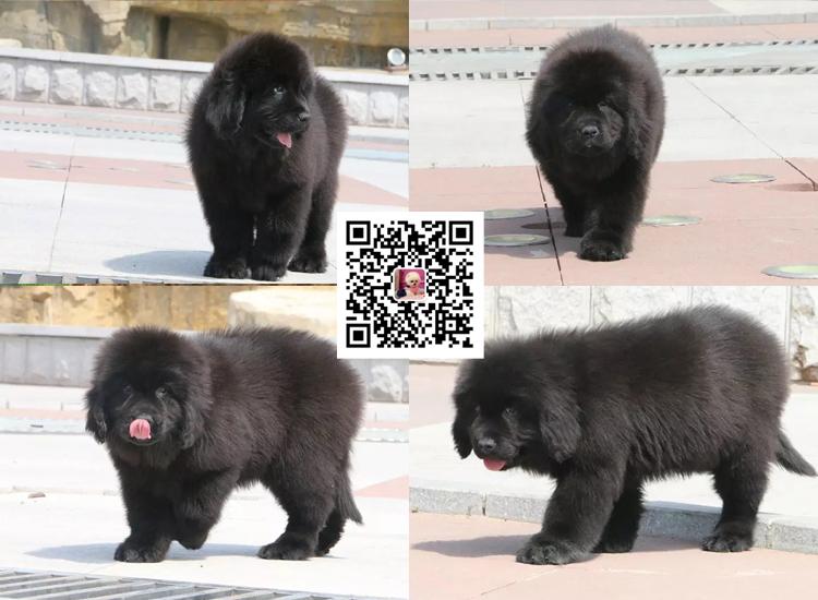 出售纯种纽芬兰幼犬活体家养巨型纽芬兰犬宠物狗狗6