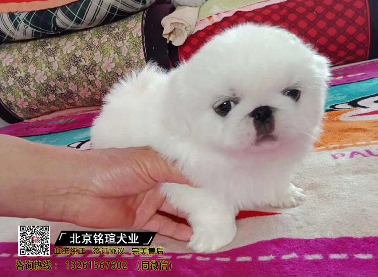 纯种健康宫廷京巴犬幼犬出售家养京巴幼崽活体宠物狗