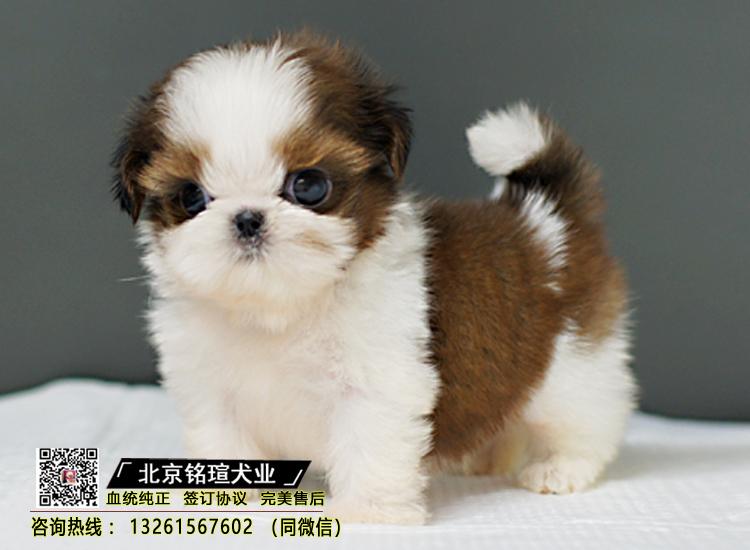 出售西施犬幼犬纯种家养小型茶杯西施幼犬活体宠物狗狗