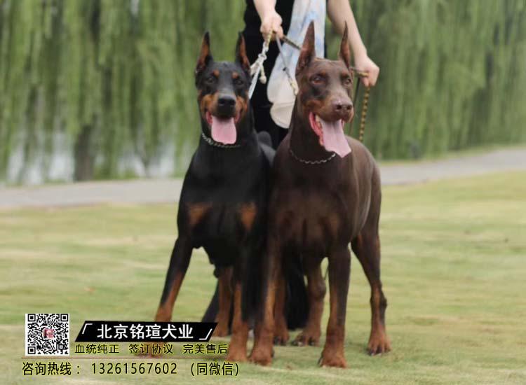 纯种比特犬 杜宾幼犬出售 活体宠物狗美国恶霸犬1