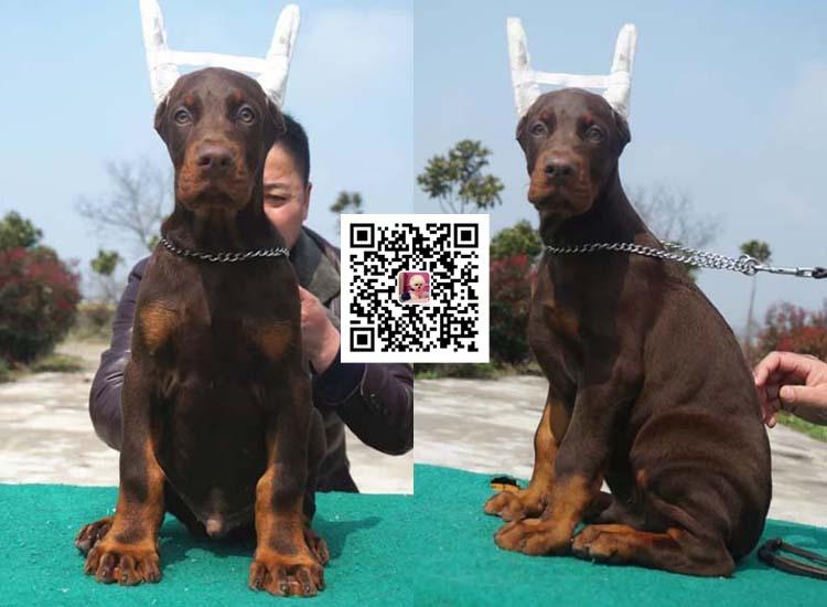 纯种比特犬 杜宾幼犬出售 活体宠物狗美国恶霸犬10