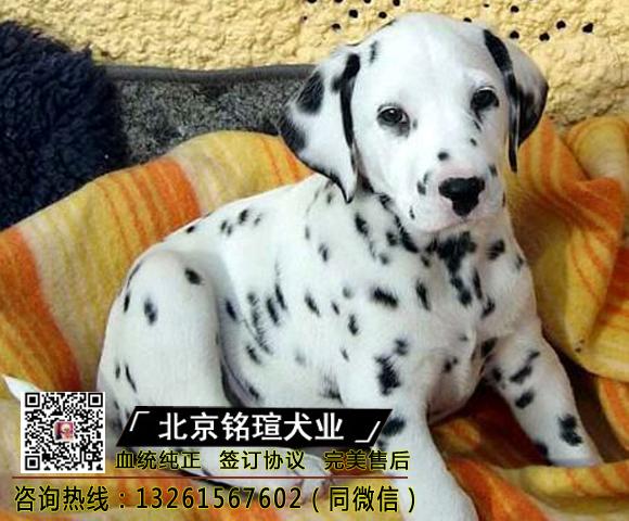 纯种斑点狗幼犬斑点狗犬大麦町斑点狗幼犬活体短毛斑点犬宠物狗1