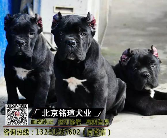纯种卡斯罗犬幼犬卡斯罗活体卡斯罗幼犬活体猛犬护卫犬卡斯罗