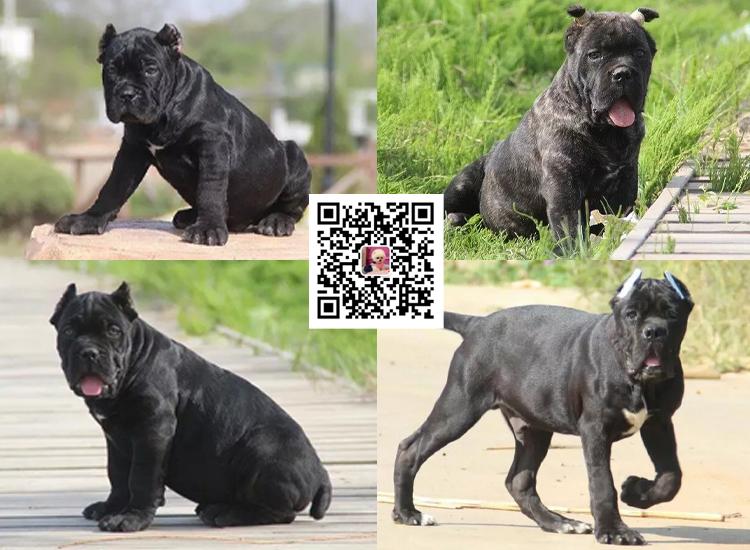 纯种卡斯罗犬幼犬卡斯罗活体卡斯罗幼犬活体猛犬护卫犬卡斯罗9
