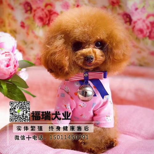 飞耳灰色泰迪幼犬纯种茶杯犬袖珍泰迪犬小狗狗3