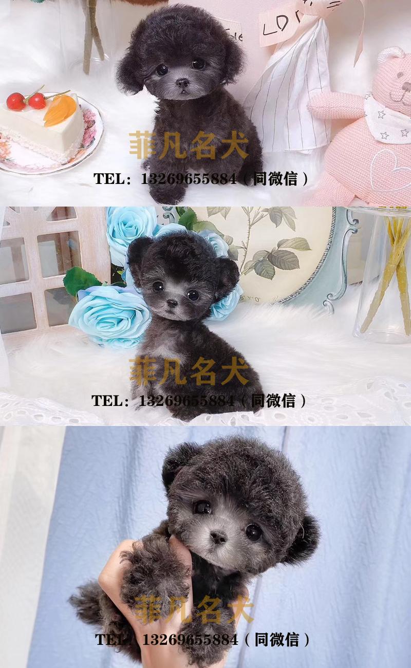 飞耳灰色泰迪幼犬纯种茶杯犬袖珍泰迪犬小狗狗6