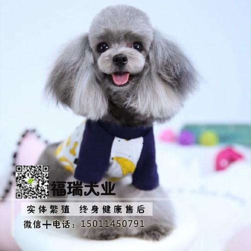飞耳灰色泰迪幼犬纯种茶杯犬袖珍泰迪犬小狗狗4