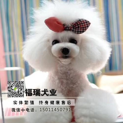 飞耳灰色泰迪幼犬纯种茶杯犬袖珍泰迪犬小狗狗2