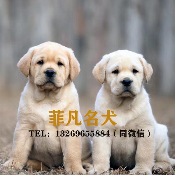拉布拉多幼犬纯种纯种中大型犬导盲犬活体宠物狗