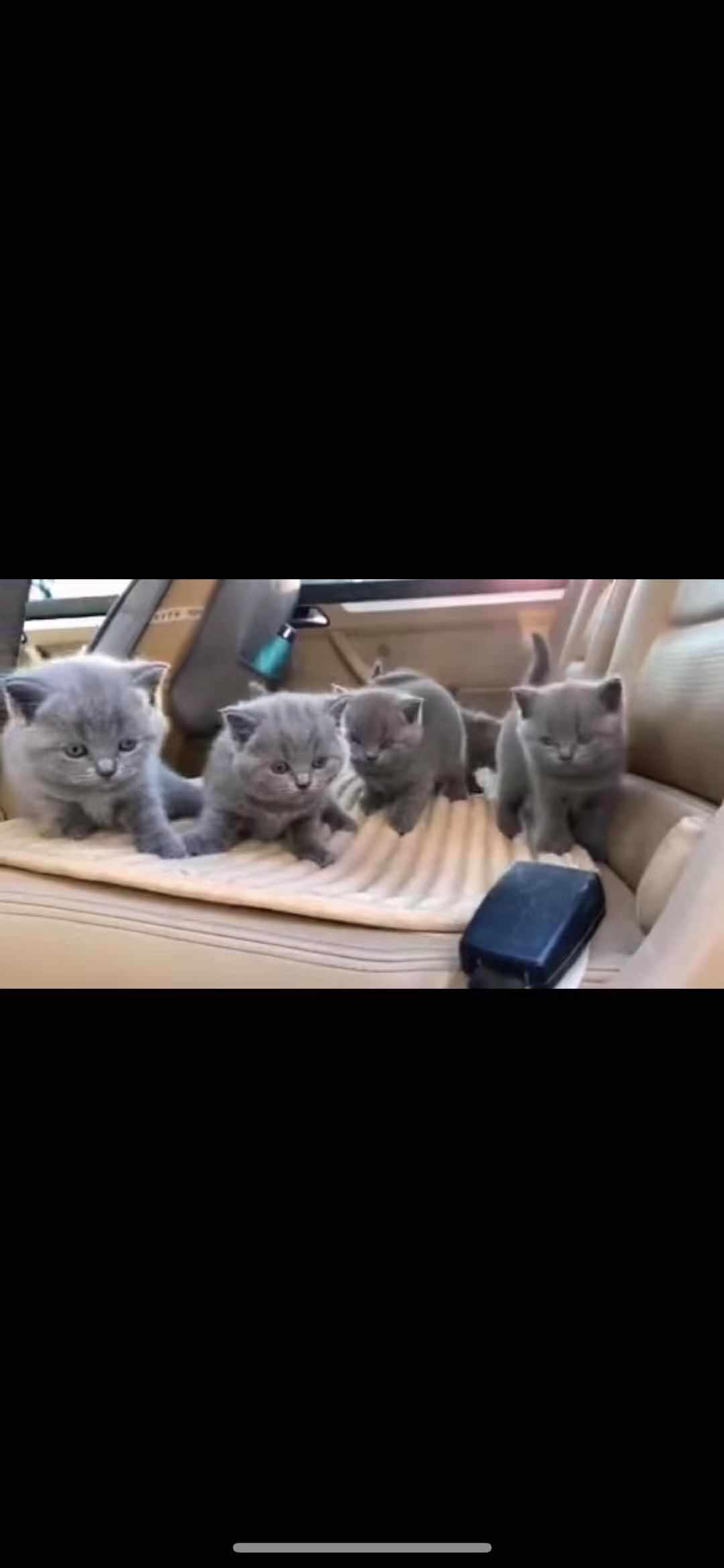 纯种英国短毛蓝猫包子脸大眼睛可看父母