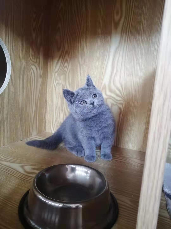 东莞南城纯家庭式繁育蓝猫,蓝白
