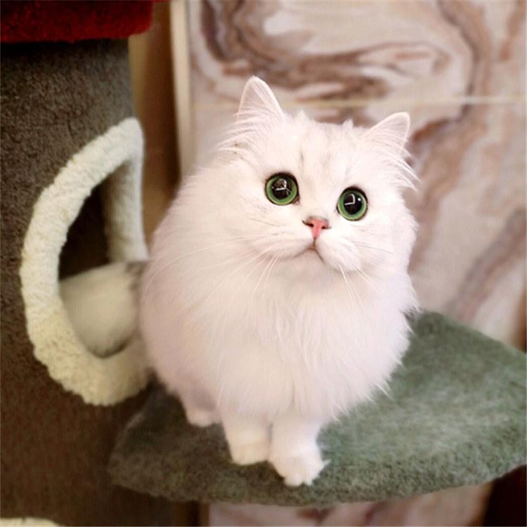 纯种金吉拉猫咪 包纯种包健康 公母都有 全国发货