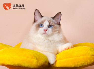 纯种布偶猫幼猫正规培育海双蓝双全国发货售后无忧