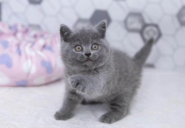 纯种英国短毛蓝猫 公母都有 包纯种包健康 全国发货