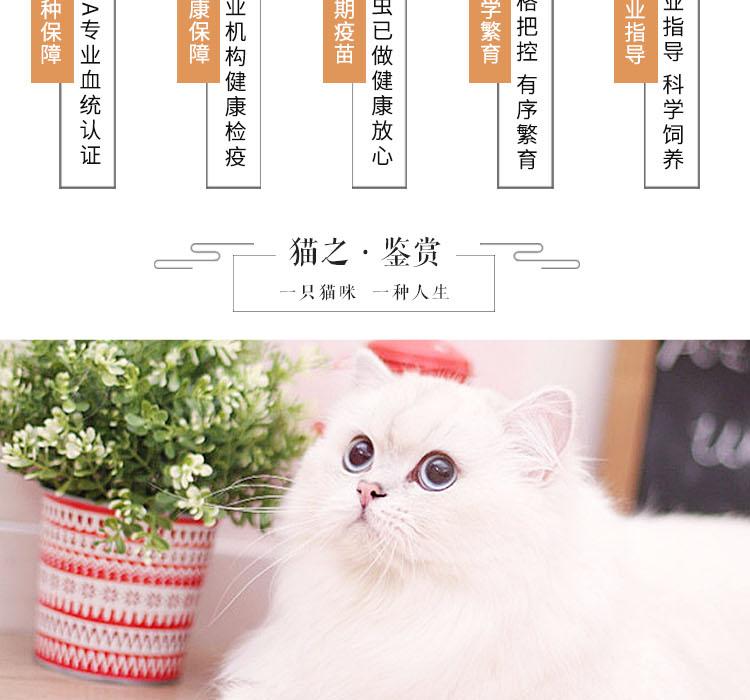 纯种泰国暹罗猫 包纯种包健康 全国发货8