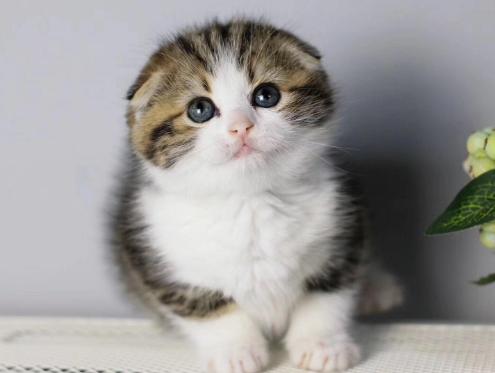 苏格兰折耳猫 包健康 全国发货 正规CFA猫舍4