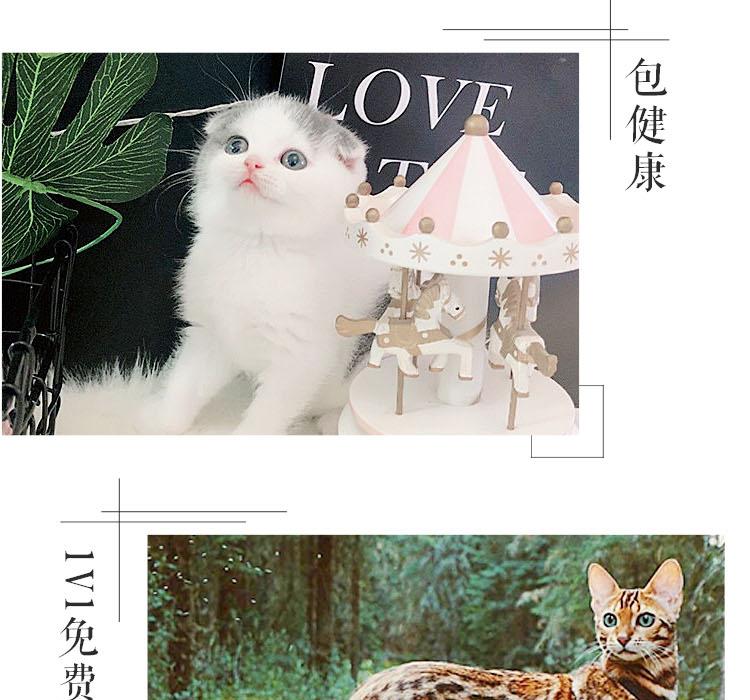 纯种豹猫纯种孟加拉豹猫正规CFA猫舍包健康包纯种全国发货10