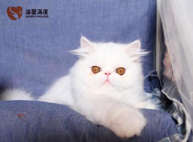 纯种加菲猫异国短毛猫 正规CFA猫舍包健康包纯种全国发货