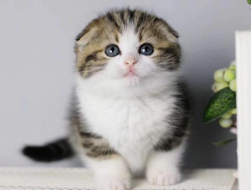 苏格兰折耳猫 包健康 全国发货 正规CFA猫舍3