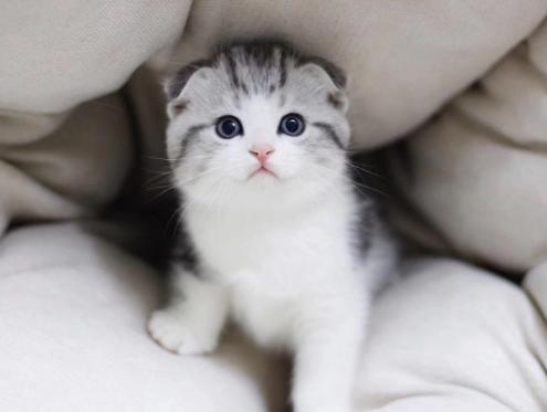 苏格兰折耳猫 包健康 全国发货 正规CFA猫舍2